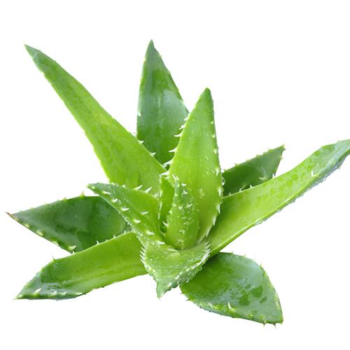 Aloe Vera Wirkung Anwendung Inhaltsstoffe Und Studien